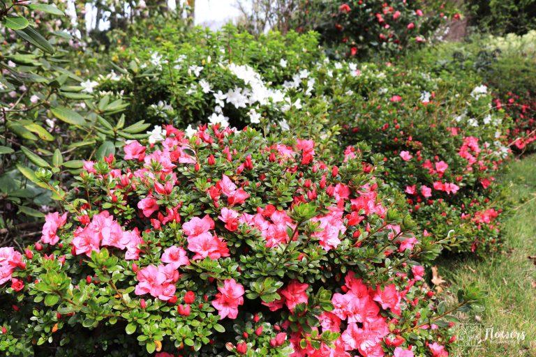 Nooroo_Garden_Azaleas-web