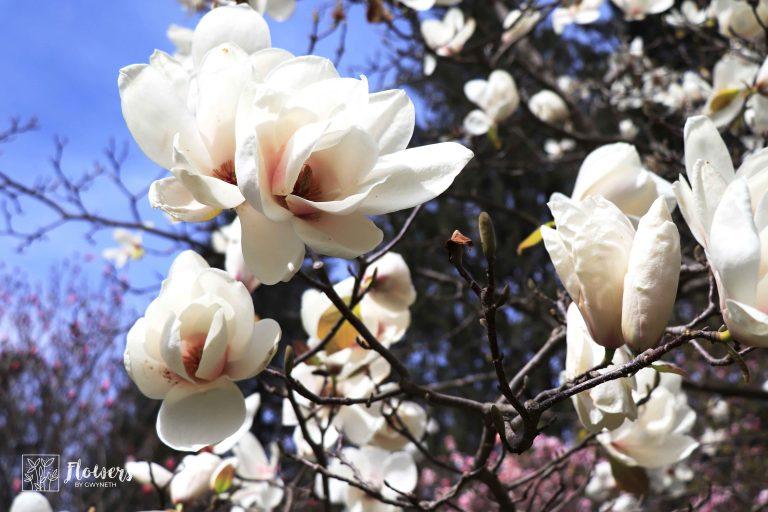 Cream Magnolias with Pink Centres