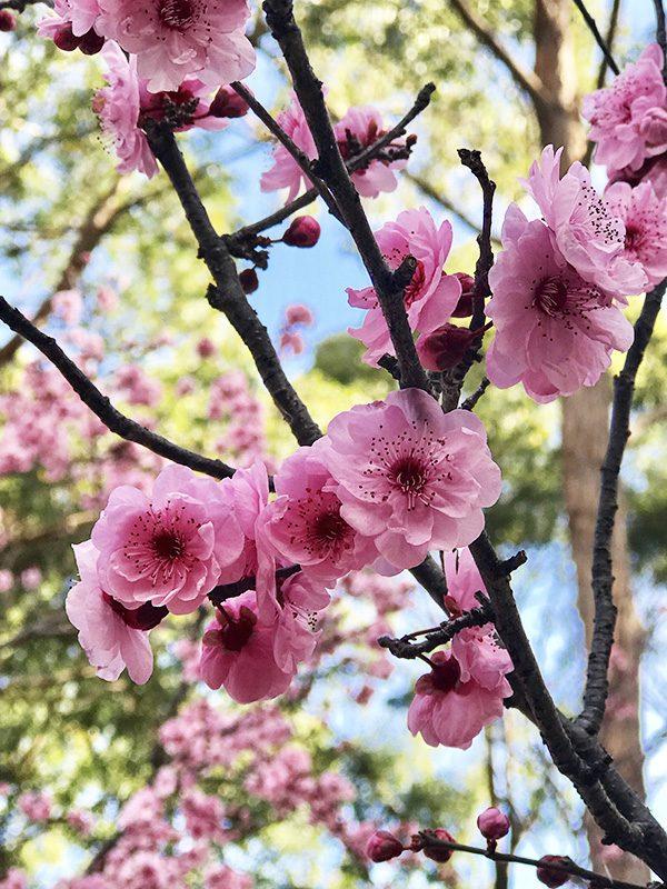 Plum blossoms-Auburn Botanic-2